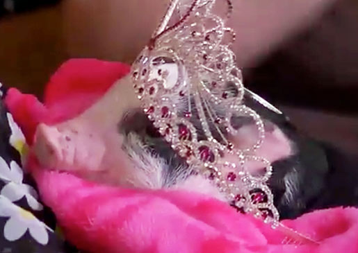 Glitzy: the queen of pigs