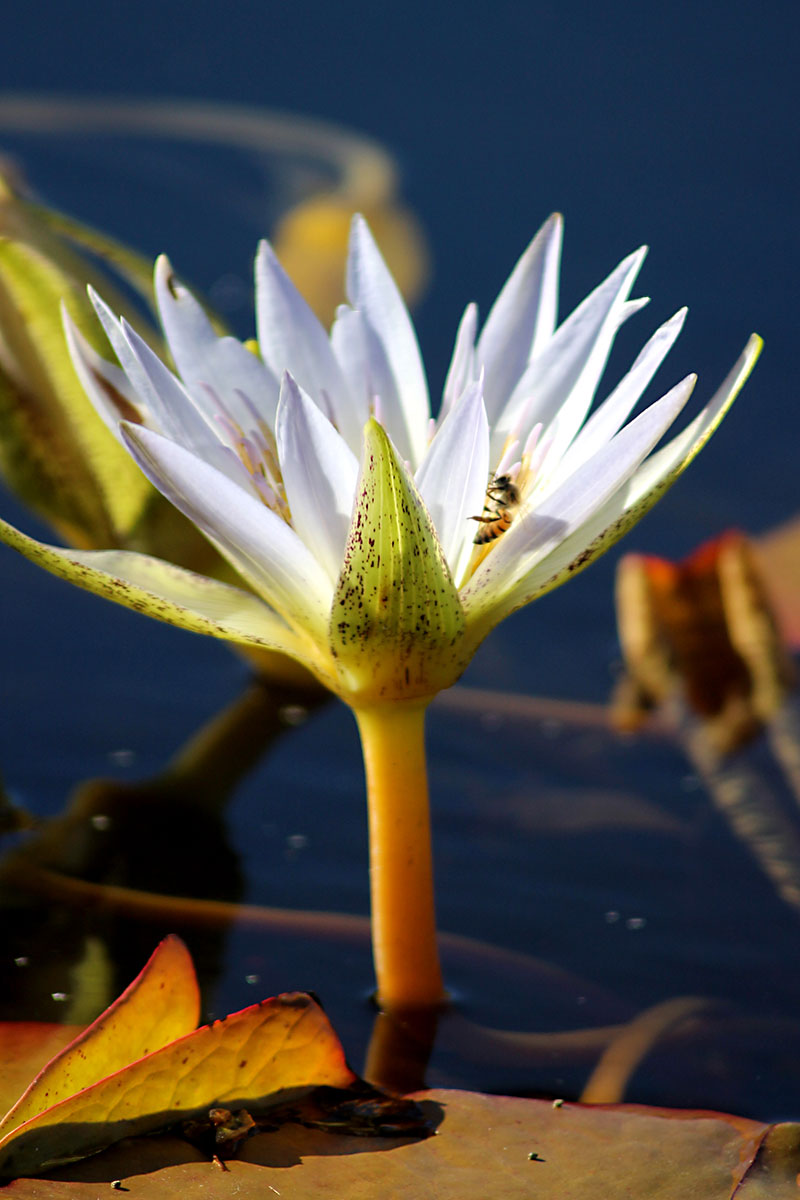 Day trips international waterlily collection san angelo texas photos by gerald e mcleod the international waterlily izmirmasajfo