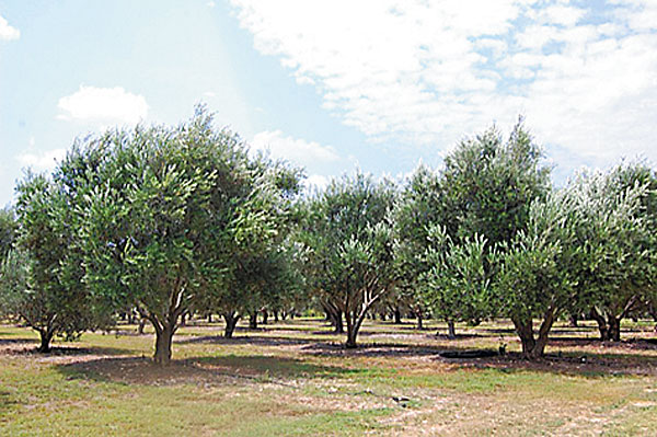 What EVOO Can Do for You: Extra virgin olive oil: how buying