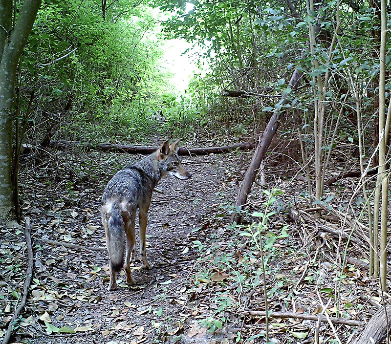 Fear & Loathing: Travis County says goodbye to a coyote