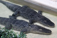 Day Trips: Alligator Bank, Alvin