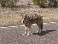 EPA Rejects Coyote Cyanide Ban