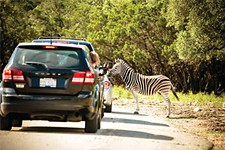 Take a Drive-Through Safari at Natural Bridge Wildlife Ranch