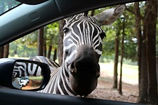 Day Trips: Drive-Through Wildlife Parks