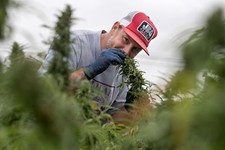 Texas Sees Its First Hemp Harvest in 80 Years