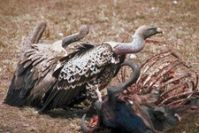 Carrion Crisis in Comal County