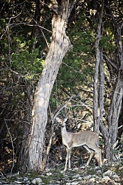 A white-tailed doe stands alert.