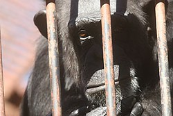 More than 70 chimps live at Primarily Primates in Bexar County.