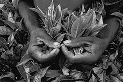 <i>Picking tea at a plantation near Cyangugu, Rwanda, </i>1991