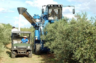 Harvesting olives at Farrell's Olive Ranch