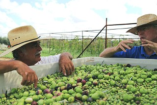 Texas olive oil pioneer Jim Henry (r) and Jerry Farrell inspect the olive harvest at Farrell's Olive Ranch.