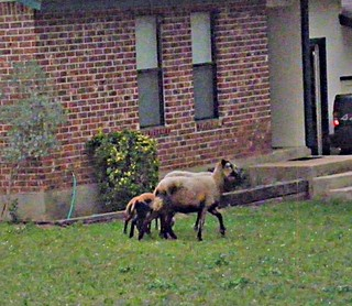 The flock that strays together: loose sheep down in Onion Creek Meadows.