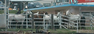 Horses awaiting slaughter at Dallas Xrown