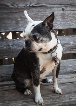 Buster the Boston Terrier has a mass that needs treatment