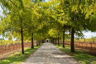 An allée of cypress trees leads to the entrance of Fall Creek's winery.