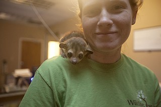 An aquarium employee poses with Dexter, a kinkajou who will live at the aquarium. Oversight of mammals displayed for a commercial purpose is provided by the USDA. Vince Covino says he will obtain all necessary permits to house Dexter and other mammals, but apparently hasn't yet.