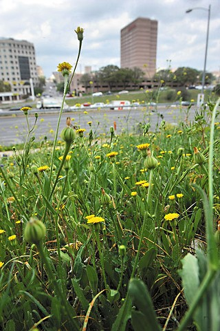 Dandelions near Downtown Austin