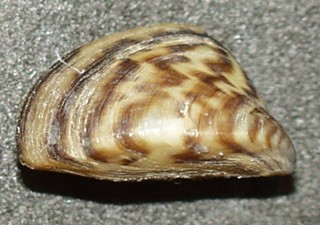 A typical shell for the insidious zebra mussel
