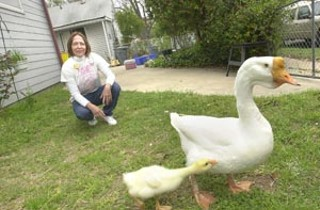 Meet Homer the Homeless Goose. In the mid-1980s, Homer rose to fame and glory when he was taken hostage by a group of homeless activists who threatened to eat him if Austin didn't address members' food and housing needs. (They were only kidding, y'all.) For the past 18 years, Homer has lived with Eastside activist Lori Cervenak-Renteria, who has faithfully kept his pond wet and his belly full of cat food. But now, Renteria is getting ready to retire, and Homer needs a new home. Do you want to own a piece of Austin history? Do you have a thing for creatures short, white, and waddly? Would you like to be able to say you own a goose that has met Willie Nelson? Are you Willie Nelson and want to adopt a goose? Do you care about the history and current state of homelessness in Austin? If the answer to any of the above is yes, waddle on down to the Homeless Memorial on Town Lake (just east of the Stevie Ray statue) Saturday, April 1 at 2pm for a joint birthday party for Homer, memorial service for Homer's recently deceased daughter Hazel, and a vetting of the potential goose adopters. For more information, call 478-6770. To read Homer's full history, visit <b>www.austinadvocate.org</b></a>. – <i>Rachel Proctor May</i>