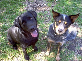 When Reba (l) and Toby went missing and ended up at the Williamson Co. Regional Animal Shelter, only Toby was returned to owners Gilbert and Mitzi Angelle. Reba, they were told, was put down for anti-social behavior.
