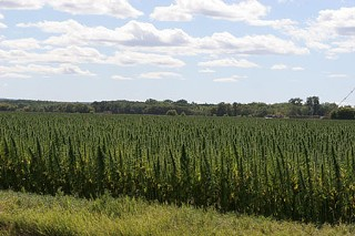 Hemp field in Manitoba, Canada