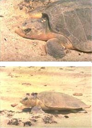 The endangered Kemp's ridley turtle.<br>